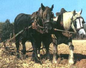 Le percheron.
