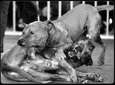 Combats de chiens