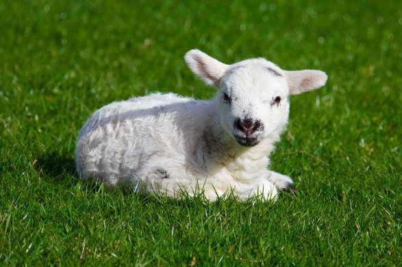 Couds un petit mouton.
