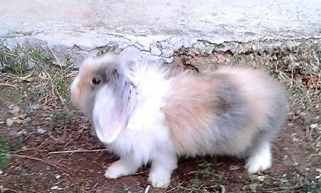 Alhem, le lapin de ma filleule Vanessa.