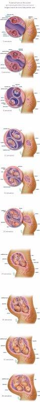 j'ai trouver un schéma du développement d'une grossesse géméllaire! 'simplifier)