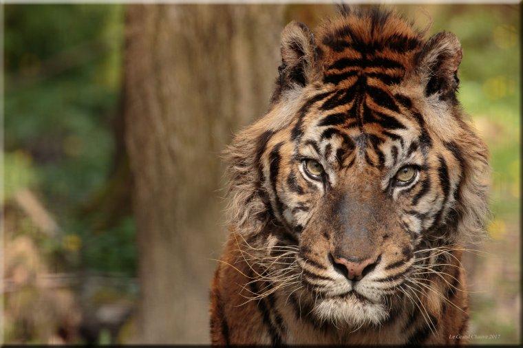 L'½il du tigre