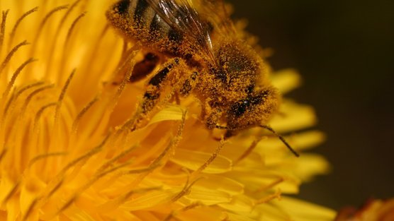 Espoir pour les abeilles