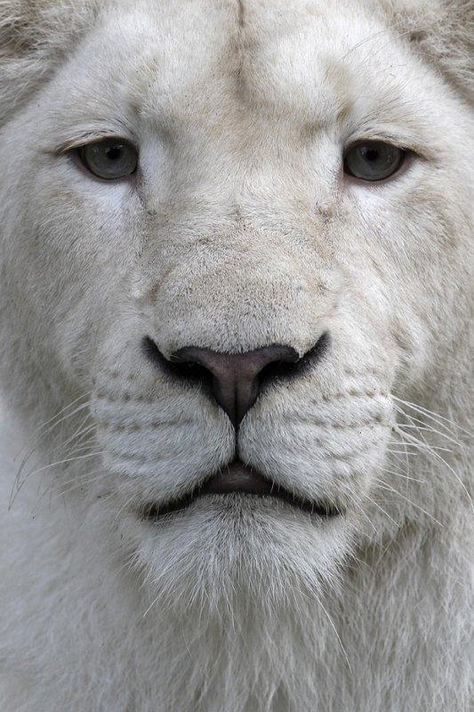 *** ANIMALIA *** Le LION Blanc ***