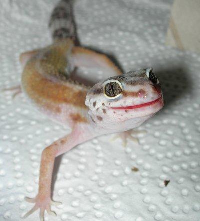 Geckotte.