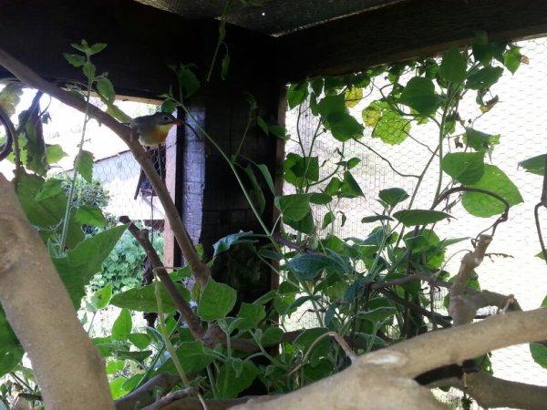 My Pekin Robins