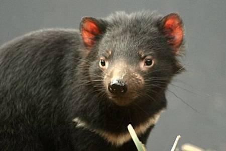 le démon de tasmanie