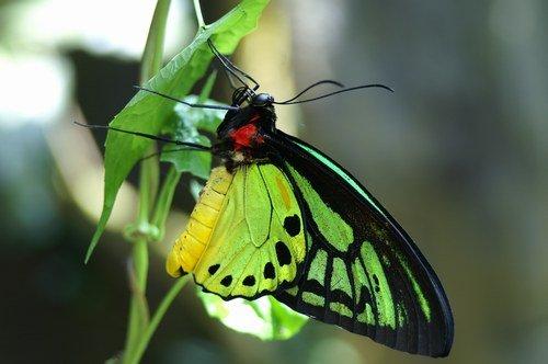papillon rare