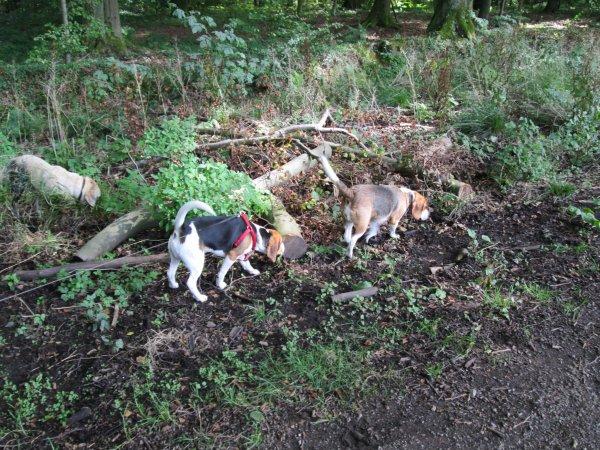 les beagles et leen