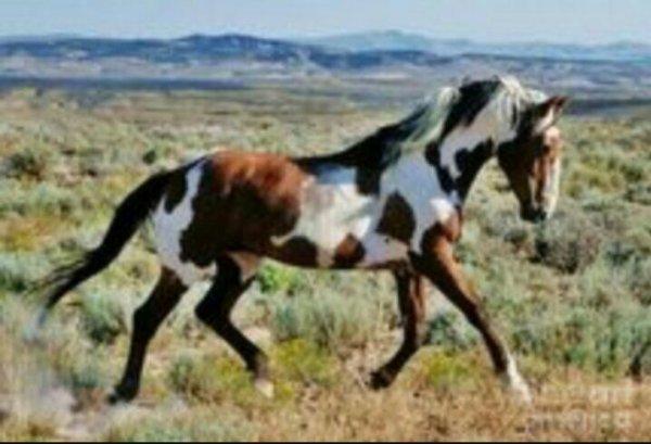Les chevaux revenus à l'etat sauvage