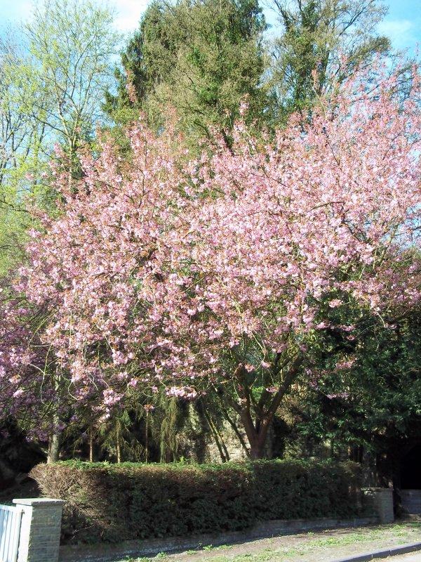 vous vous souvenez de mon superbe cerisier du Japon