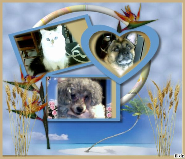 voici un montage de mes 3 animaux mon beau chat ensuite le chien de ma fille et mon bebe caline en bas qui nous a quitte