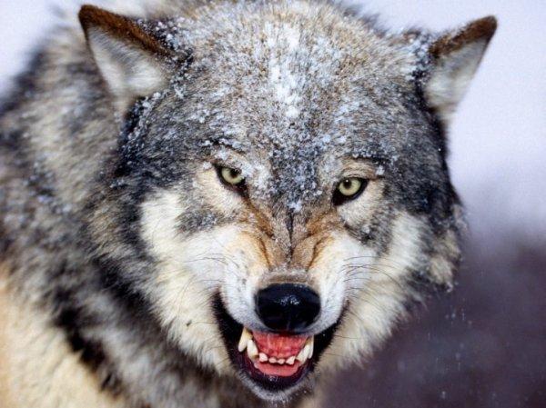 Loup trop joli