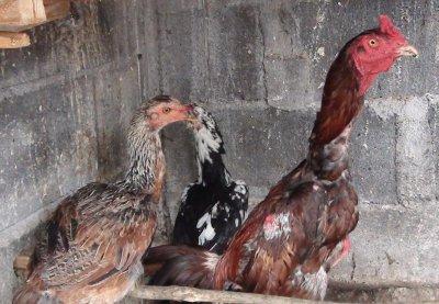 mon hybride et ses poules