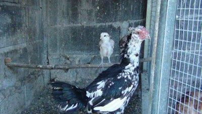 poule et poussins de 1 mois
