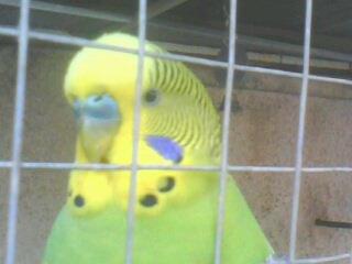 Petit perruche alias Mimi :)