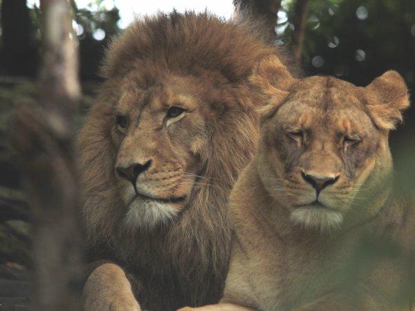Lions d'Afrique