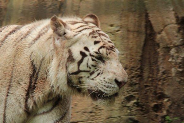 Tigre de Sumatra, tigre blanc