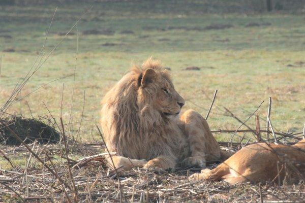 Lions d'Angola