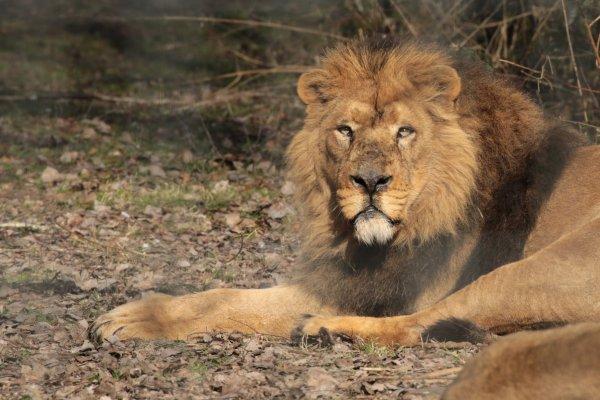 Lions d'Asie