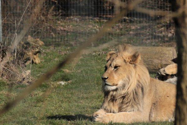 Lions d'Afrique de l'Est