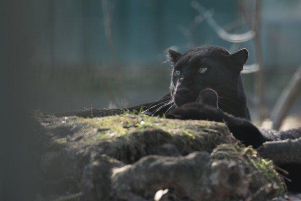 Panthères noires
