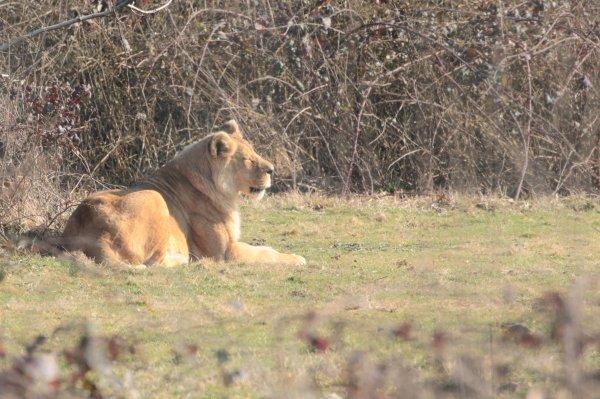 Lions d'Afrique de l'Ouest