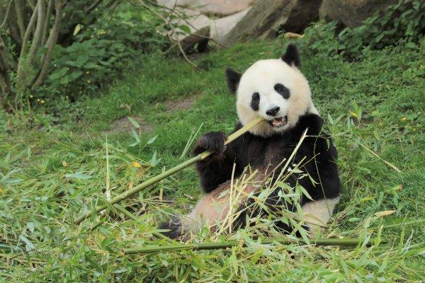 Huan Huan, panda géant femelle