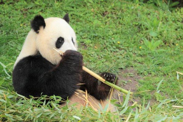 Madame Panda