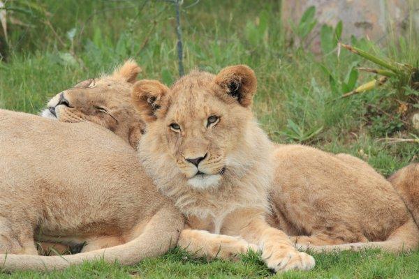 Lions d'Afrique du Sud