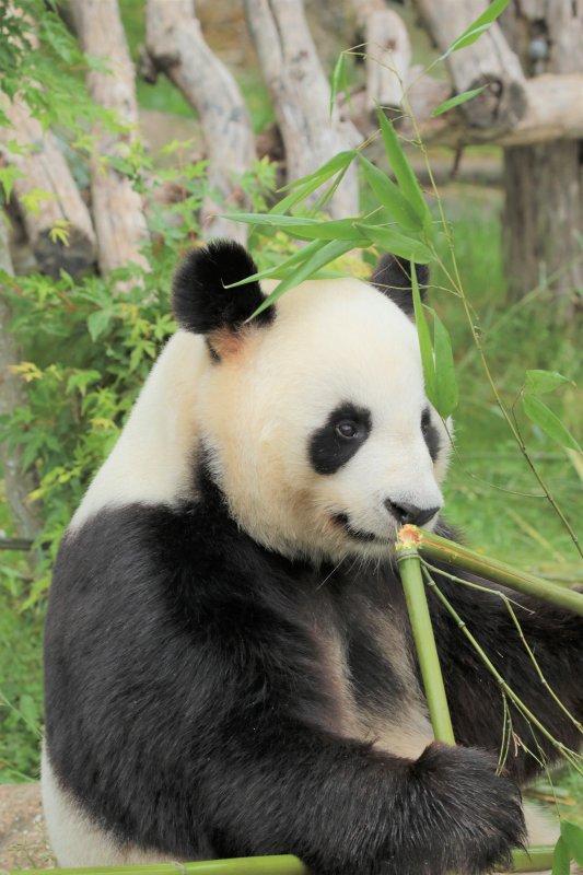 Yuan Zi ( Panda géant mâle )
