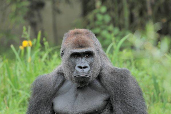 Gorilles