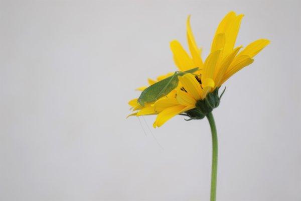 Phanéroptère commun ( femelle )