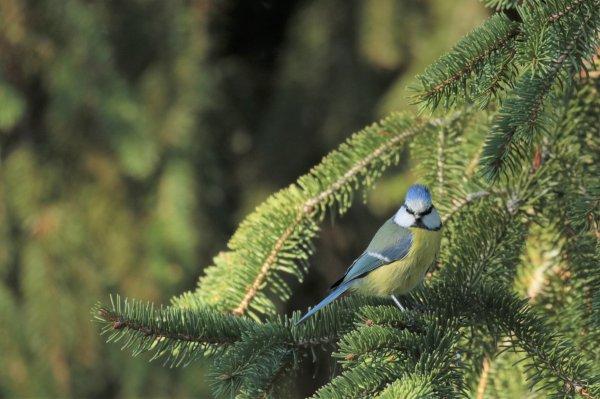 Mésange bleue ( 2 )