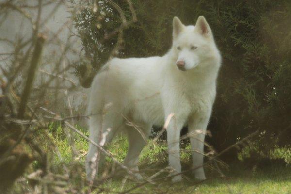 Husky d'Alaska