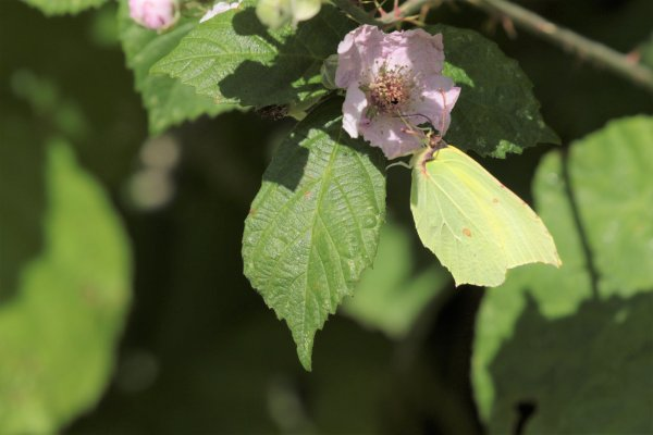 Citron mâle