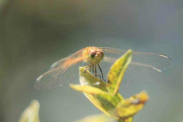 Sympétrum à nervures rouges, femelle