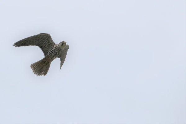 Faucons pèlerins