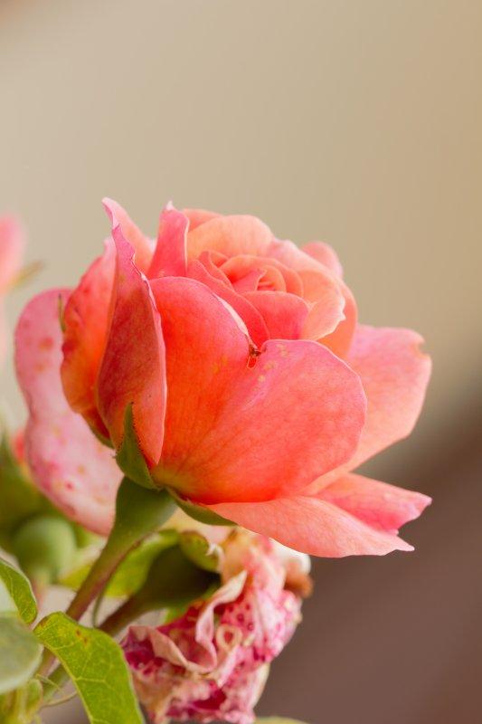 Rose et Sauterelle ponctuée