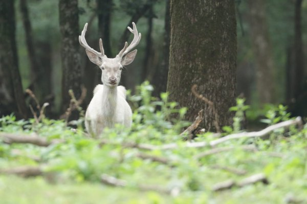 Cerf blanc ( 3 )