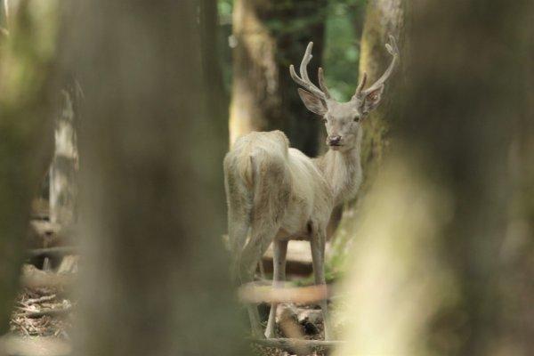 Cerf blanc ( 4 )