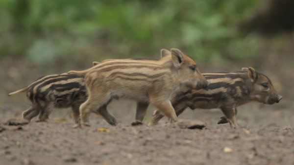 P'tits cochons