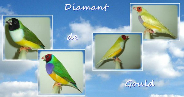 mes diamants de gould