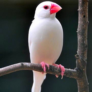 padda de java femelle blanche