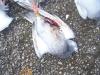 attention les fouines s'attaque encore au pigeon a cette saison