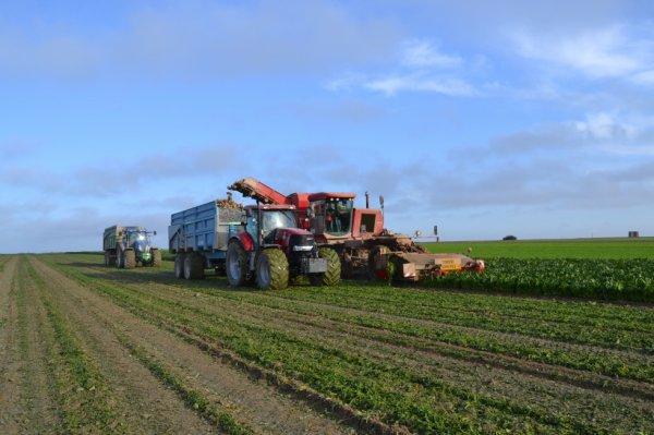 arrachage de betteraves dans la Marne avec moreau lectra v2, case puma 185cvx et maupu 21t et new holland t7070 avec 21t huret