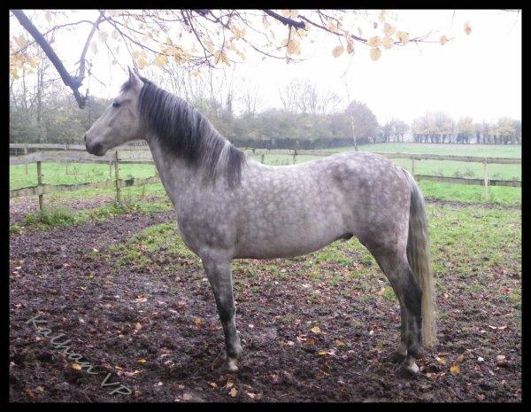 Paco cheval espagnol de 8ans