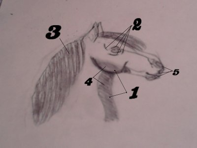 comment dessiné un cheval ?