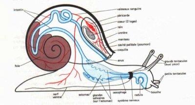 blog de escargots 25 les escargots. Black Bedroom Furniture Sets. Home Design Ideas