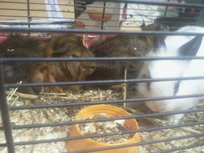 Mon lapiin et mes deux cochons d'inde !!